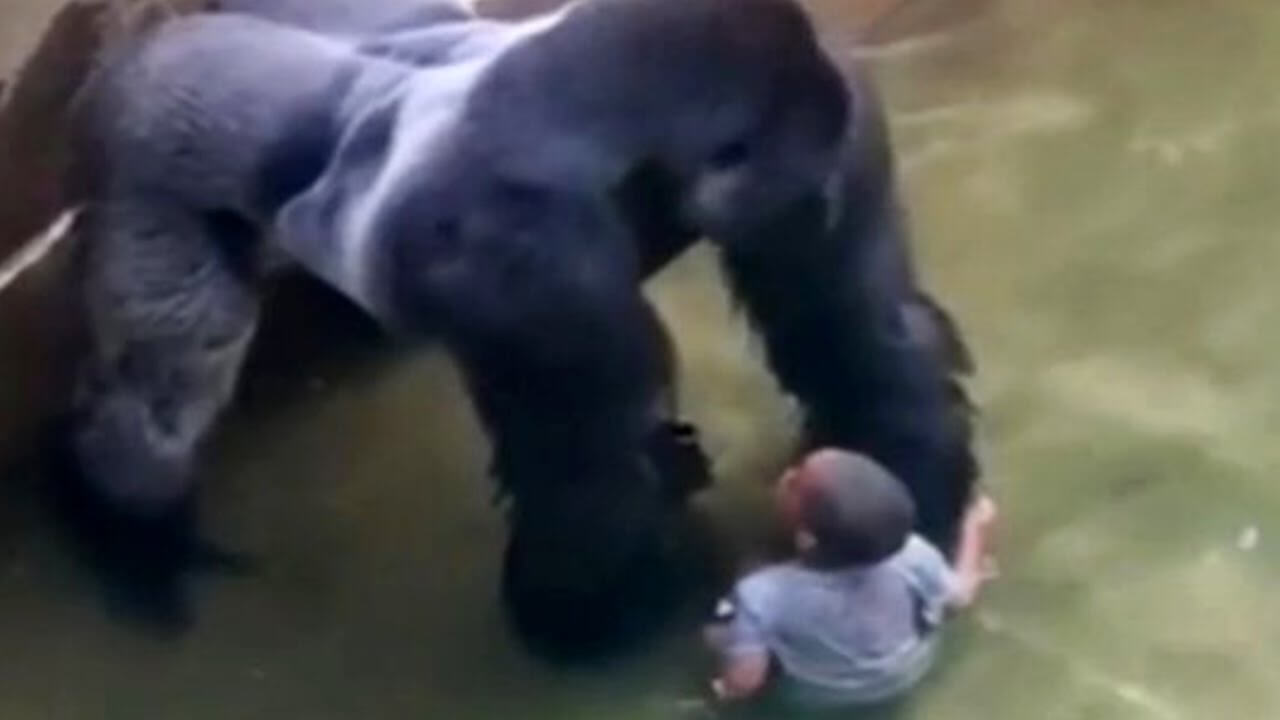 Parenting Lessons from Harambe the Gorilla's Death